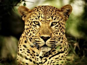 leopard4-1024x768